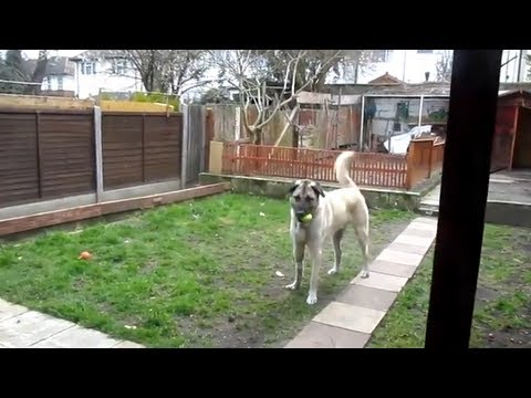 Turkish Dog Kangal Misses His Owner! Welcome to home =)