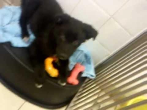 Alsation Puppies @ Dogs Trust  Glasgow (: