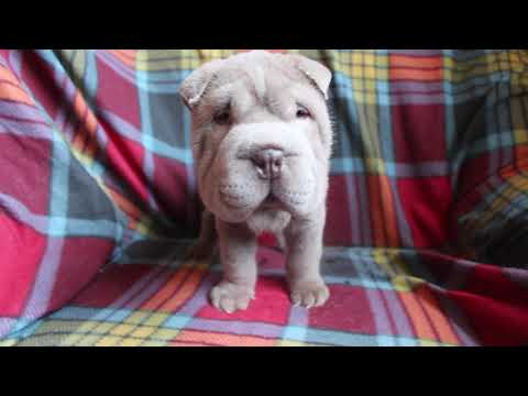 sharpei lilac puppy mini sizt