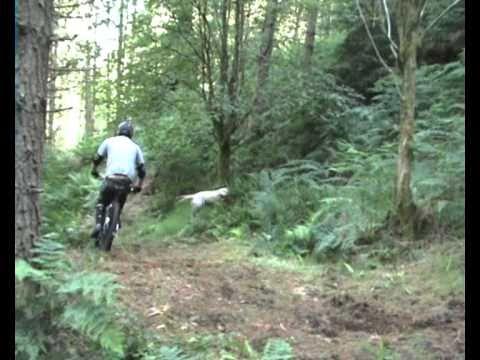 Downhill Labrador - race winning mountain bike dog