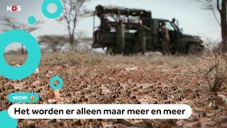 In Kenia vecht zelfs het leger tegen de sprinkhanen
