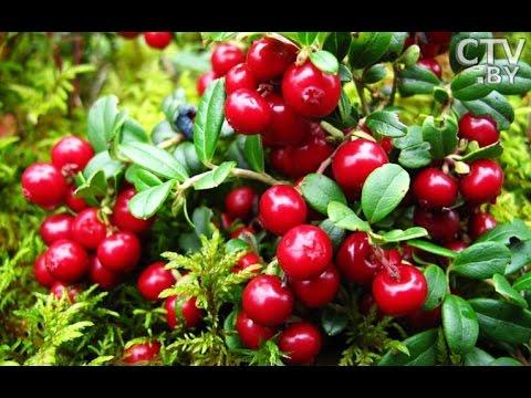 Массовый сбор брусники и клюквы стартовал в Беларуси: чем полезны эти ягоды?