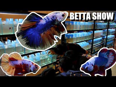 BETTAS You've Never Seen Before: AMAZING Betta Fighting Fish Show In Vietnam