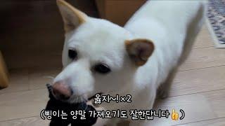 양말놀이 하는 풍산개 (feat. 닭고기 간식)