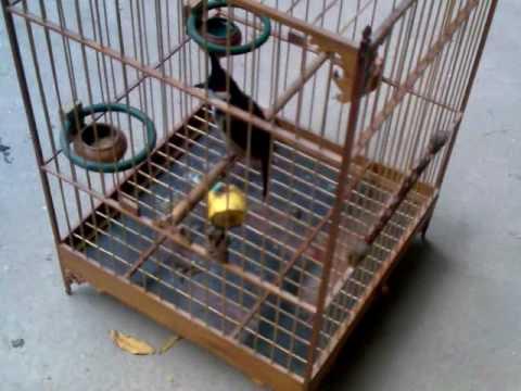 long hue thuong.3gp -Kênh về chim Chào mào của Triệu Triệu
