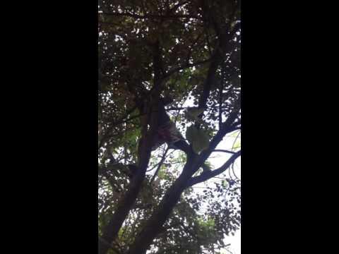 My Friend Tyson Climbing Star Apple Tree (caimito)