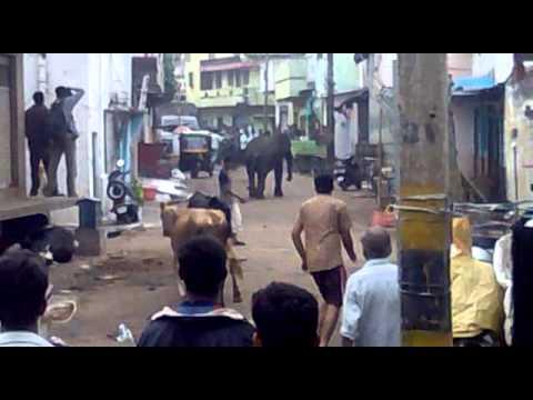 Elephant attack in mysore- Full video