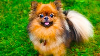 Pomchi  The Ultimate Owner's Guide That You Need To Watch!!! (Compilation Video)