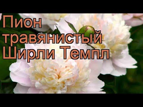 Пион травянистый Ширли Темпл (paeonia shirley temple) 🌿 обзор: как сажать, рассада пиона Ширли Темпл