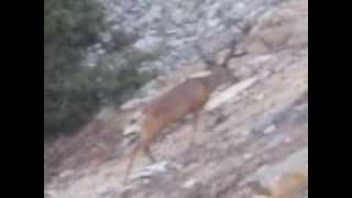 DEER  IN  YOSEMITE    VIDEO BY     ASAP LP AND NATURAL GAS SERVICES  904-346-1266