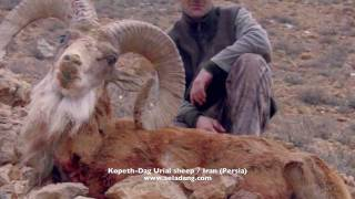 sheep of the old world armenian red urial sheep hunting chasse part 1 by seladang