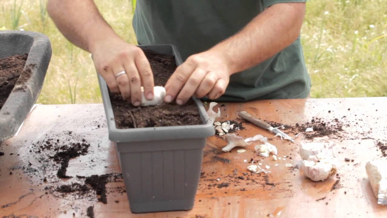 Resultado de imagen para como plantar ajos