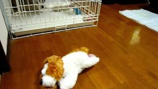 笑って動き回る犬のおもちゃにビックリするうちの子犬MOMOです。
