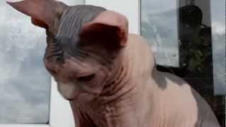 Канадский сфинкс - породы кошек
