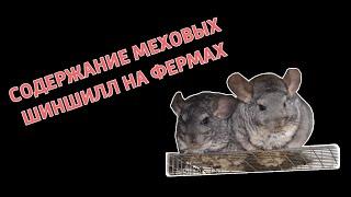 Бизнес на шиншиллах.Содержание меховых шиншилл на фермах Chinchilla.Fur.Ukraine
