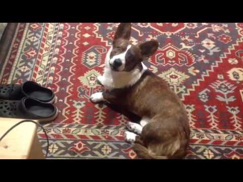 Собака играет гармошке