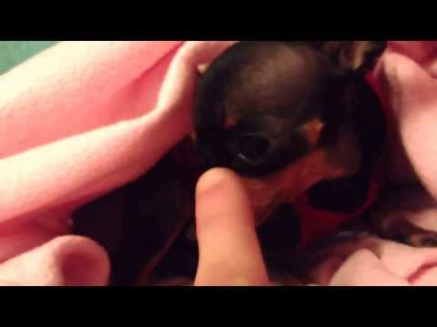 Russian toy terrier 3rd smallest dog in the world