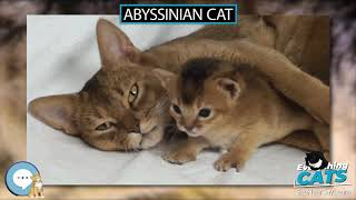 Abyssinian cat  EVERYTHING CATS