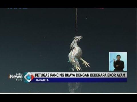 Heboh Buaya di Kali Grogol, Petugas Damkar Lakukan Penyisiran dengan Umpan Ayam Hidup - LIS 28/06