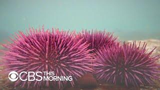 Sea urchin population explodes off West Coast