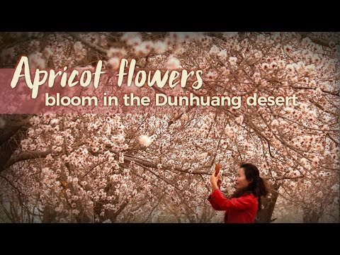 Live: Apricot flowers bloom in the Dunhuang desert 李广杏花沙漠斗艳,敦煌古城春意盎然