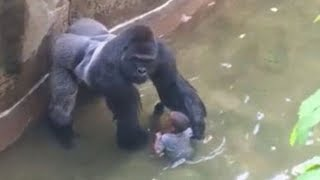 When Gorillas Attack