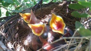Blackbird nesting - from building the nest to leaving the nest