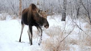 Вологодская охота на лося особенности охоты