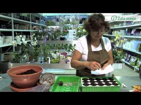 Pomidorų sėklų sėja | Augink lengviau!