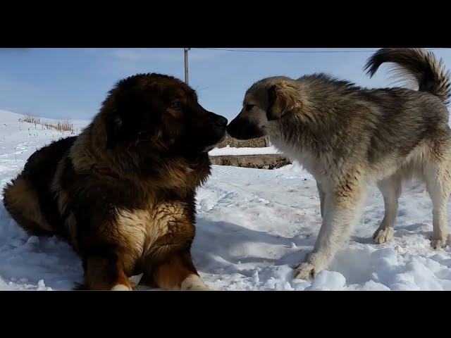 Cute Georgian Shepherd Dogs Meeting Frienldy Strangers [NEW HD]