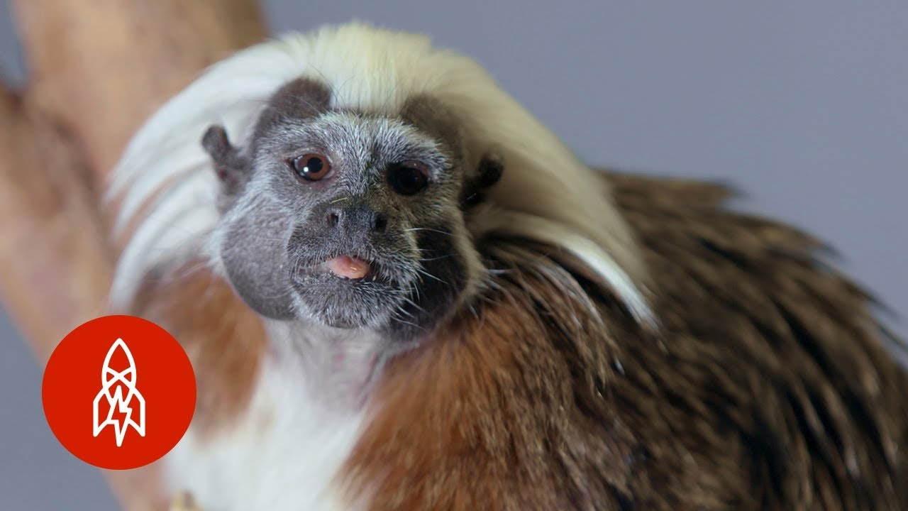 The Cotton-Top Tamarin Hangs On for Survival