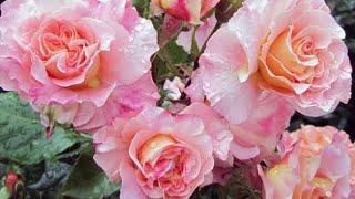 Какие сорта роз лучше . Обзор, лучшие сорта роз.