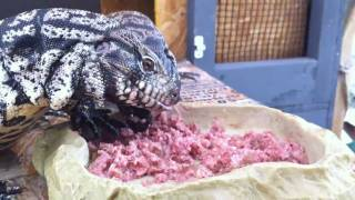 Argentine Tegu's Eating