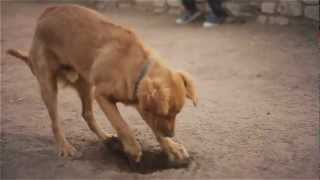 Golden Retriever Digs A Hole | The Daily Puppy