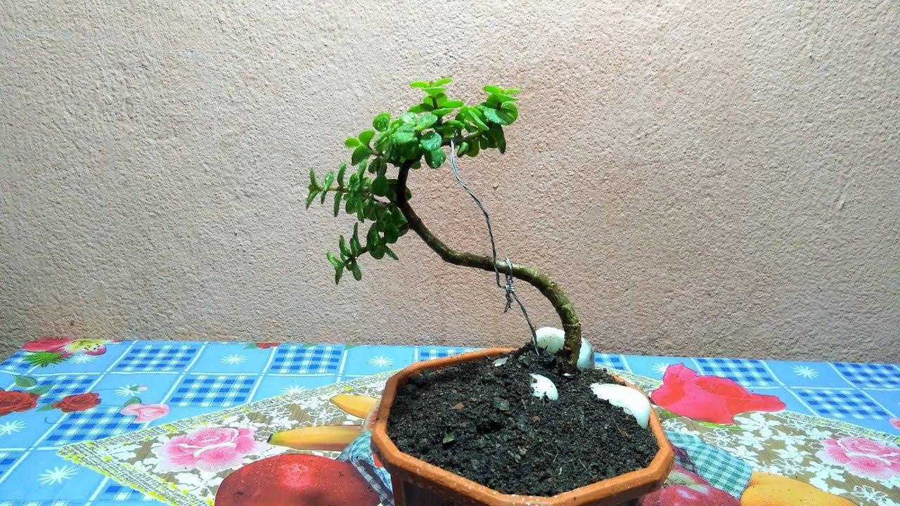 How To Make Jade Plant Bonsai Bonsai For Beginners Youtube