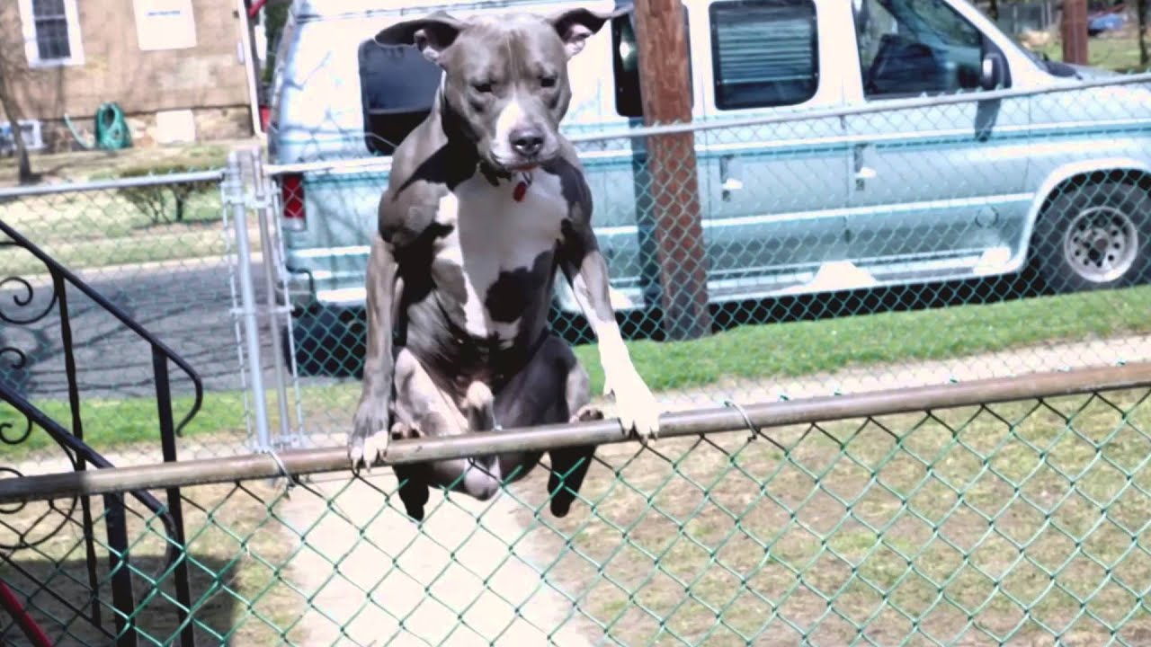 Dog Jumps Humps Fence Youtube