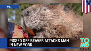 Бешеный бобёр напал на мужчину(Река Айрондеквойт находится неподалеку от Нью-Йорка. Обычно это тихое место, позволяющее человеку почувств..., 2014-06-30T11:25:55.000Z)