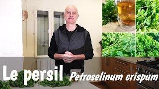 Le persil (Petroselinum crispum) : nutrition, digestion, règles douloureuses et dépuratif
