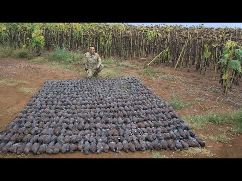South Africa dove hunting April 2017