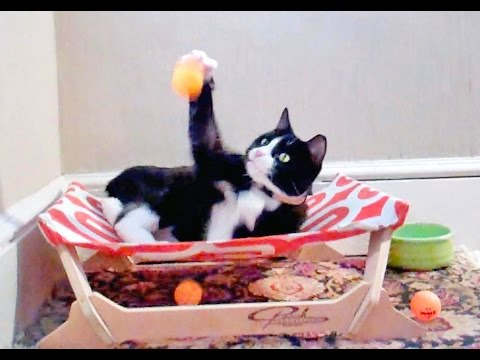Cute cat Gymnastics animal music video| Funny Manx Cat Ping Pong Action