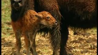 Chroniques de l'Amérique sauvage - Episode 6: La nation bison avance