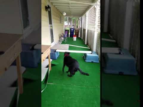 Bailey & Agility Course - Funny Australian Kelpie (Shepherd) OOPS!