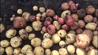 Картофель - конечный результат эксперимента. Убираем урожай