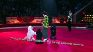 Serenada Avalona's Black Standart Poodles In Show.