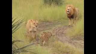 Leão e Seus Filhotes Rugindo Cena Incrível