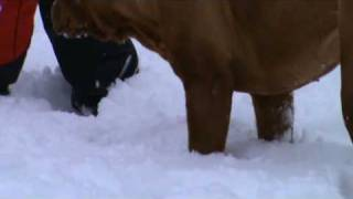 Silly Dogue De Bordeaux - In The Snow