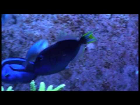 Blue Throat Triggerfish