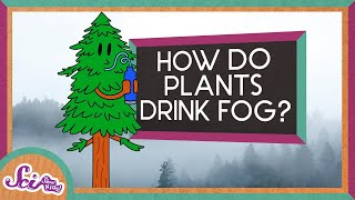 How Plants Drink Fog!