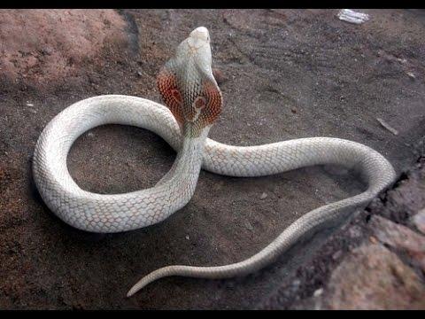 Dreadful White Cobra At Mysore Zoo Youtube