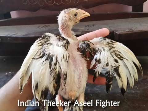 indian theeker chick asil fight